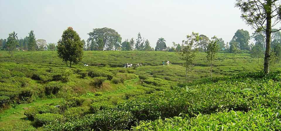 Bogor - Gunung Mas Tea Plantation
