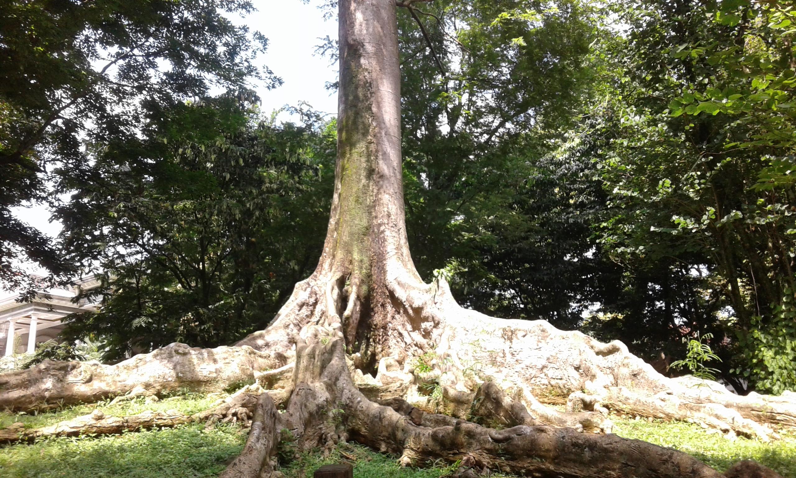 compass tree